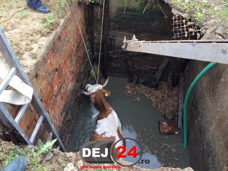 Salvare vaca cazuta in canal pompieri Manastirea Dej