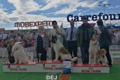 HUGO, câinele-vedetă din Dej a IMPRESIONAT și la Bucovina International Dog Show – FOTO