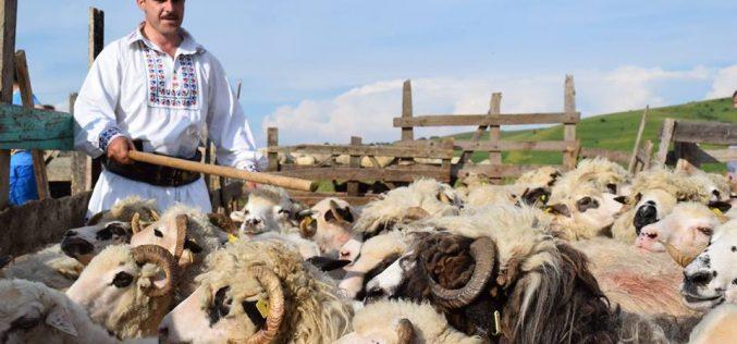 """Tradițiile populare se îmbină frumos la Rugășești! Duminică are loc """"Împreunatul oilor"""""""