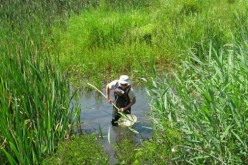 Substanţele chimice, apa din canalizare şi barajul din Dej periclitează peştii protejaţi