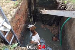 Intervenție contratimp pentru pompierii din Dej. O vacă a căzut într-o fosă septică – FOTO/VIDEO
