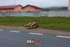 ACCIDENT la intrare în Gherla dinspre Dej! O vacă a fost spulberată de un microbuz – FOTO