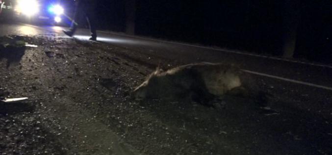 """A omorât 33 de mistreți într-un accident! Șoferul ghinionist, """"invidiat"""" de vânătorii din zonă"""